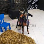 аттракцион дойная коза в аренду